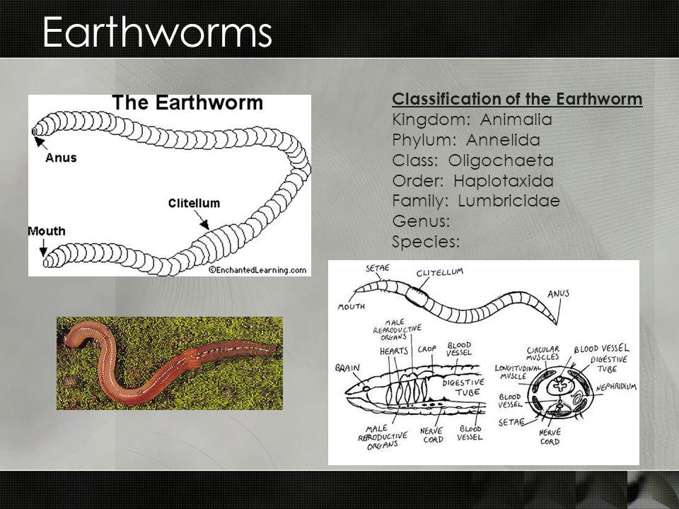 Earthworms Classification of the Earthworm Kingdom: Animalia Phylum: Annelida Class: Oligochaeta Order: Haplotaxida Family: Lumbricidae Genus: Species: