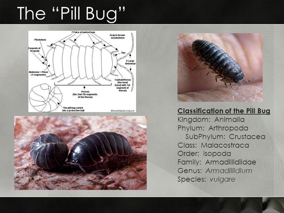 The Pill Bug Classification of the Pill Bug Kingdom: Animalia Phylum: Arthropoda SubPhylum: Crustacea Class: Malacostraca Order: Isopoda Family: Armadillidiidae Genus: Armadillidium Species: vulgare