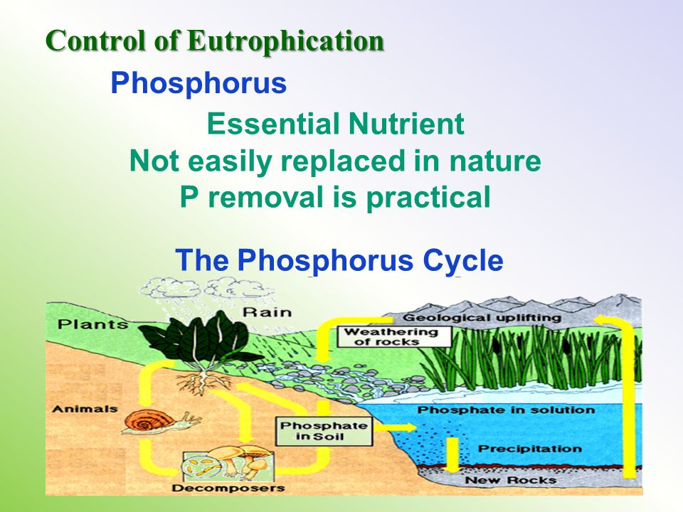 Essential Nutrient Not easily replaced in nature P removal is practical Phosphorus The Phosphorus Cycle Control of Eutrophication