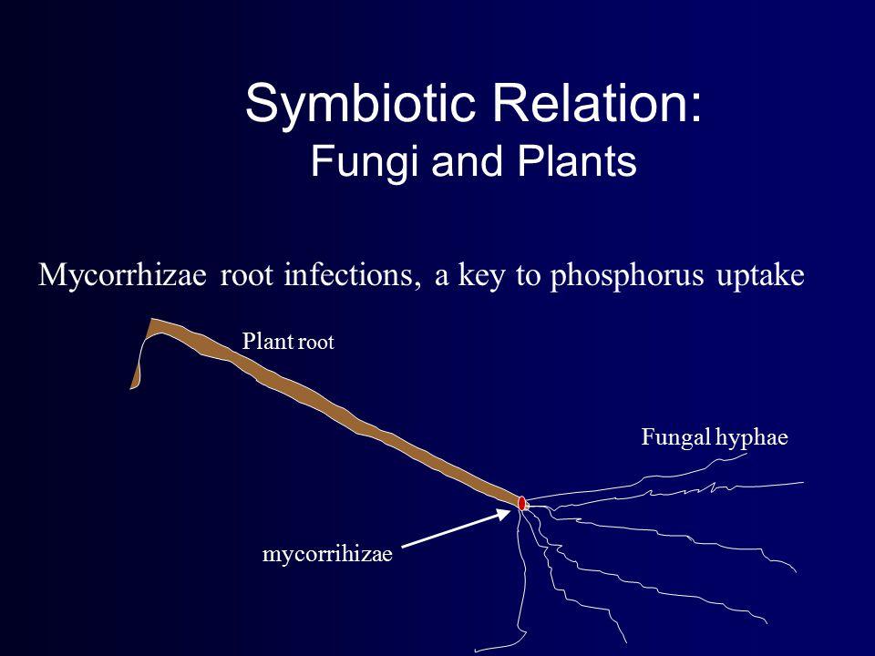 Symbiotic Relation: Fungi and Plants Mycorrhizae root infections, a key to phosphorus uptake Fungal hyphae mycorrihizae Plant r oot