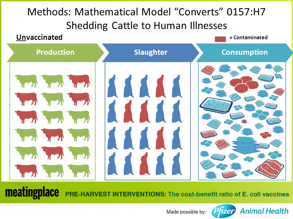 Unvaccinated Methods: Mathematical Model Converts 0157:H7 Shedding Cattle to Human Illnesses ProductionSlaughterConsumption = Contaminated