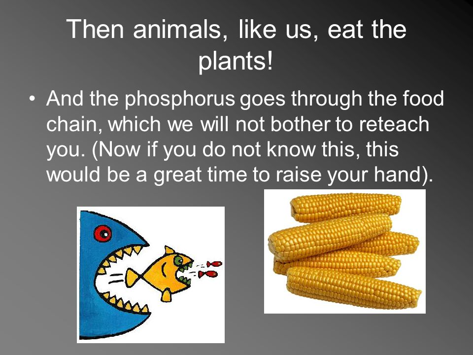 Then animals, like us, eat the plants! And the phosphorus goes through the food chain, which we will not bother to reteach you. (Now if you do not kno