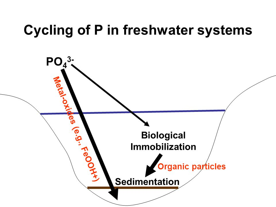 Cycling of P in freshwater systems PO 4 3- Biological Immobilization Sedimentation Metal-oxides (e.g., FeOOH+) Organic particles