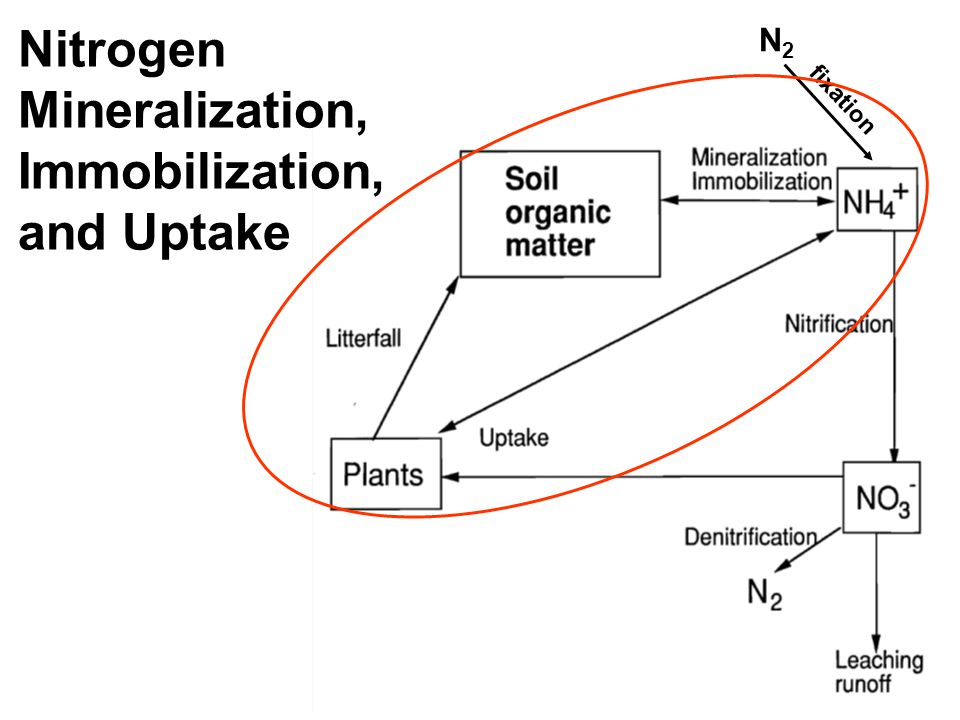 N2N2 fixation Nitrogen Mineralization, Immobilization, and Uptake