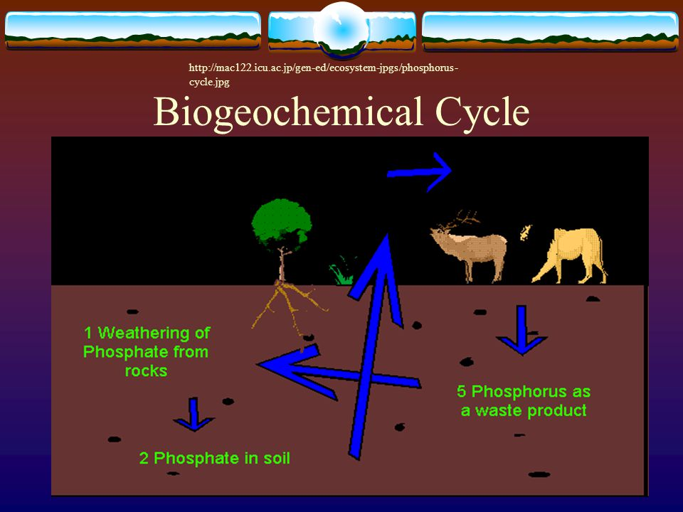 Biogeochemical Cycle http://mac122.icu.ac.jp/gen-ed/ecosystem-jpgs/phosphorus- cycle.jpg