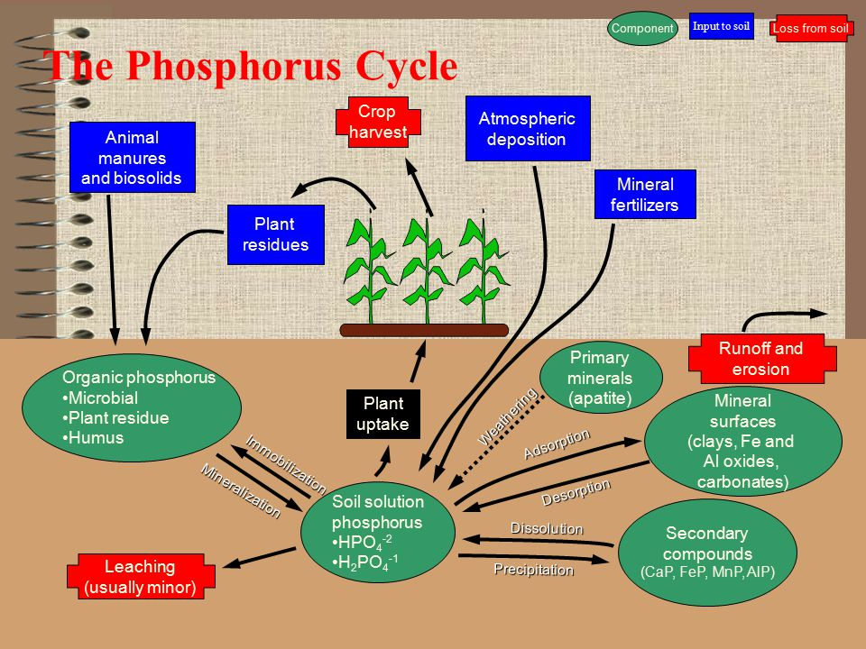 The Phosphorus Cycle Animal manures and biosolids Mineral fertilizers Crop harvest Runoff and erosion Leaching (usually minor) Organic phosphorus Micr