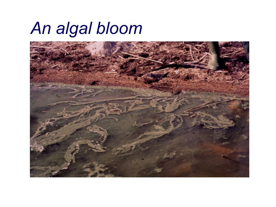 An algal bloom