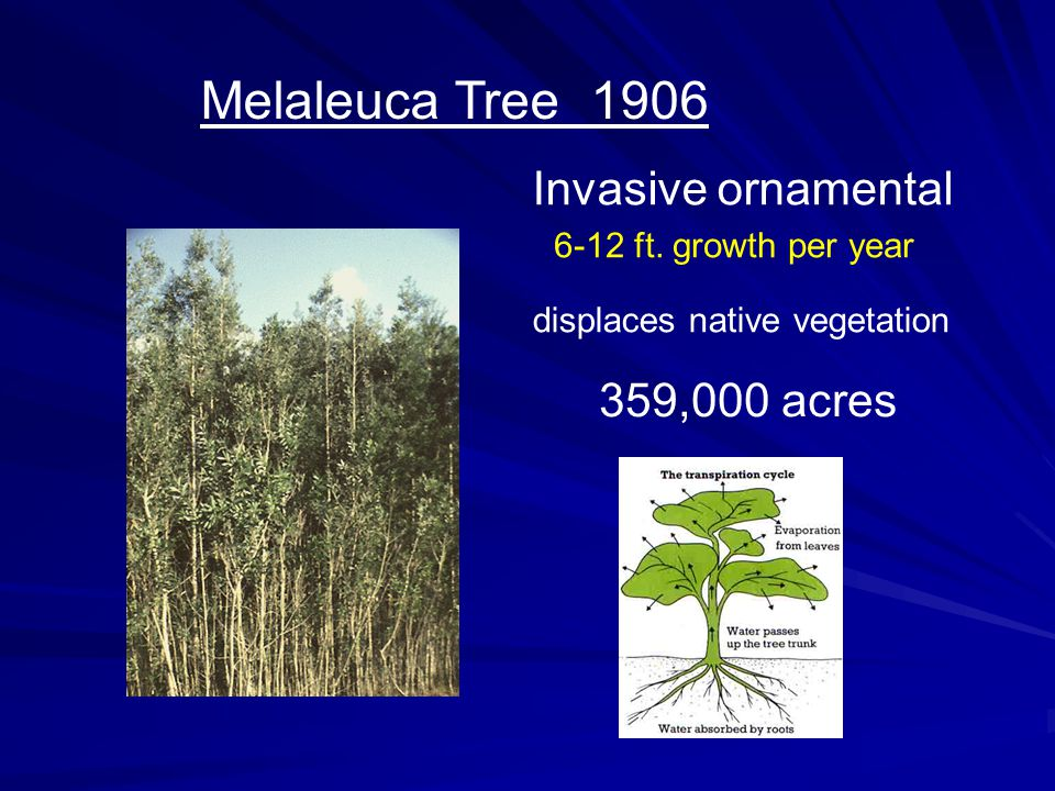 Melaleuca Tree 1906 Invasive ornamental 359,000 acres displaces native vegetation 6-12 ft. growth per year