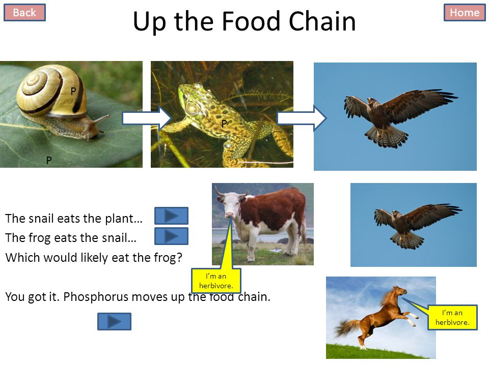 Up the Food Chain The snail eats the plant… The frog eats the snail… Which would likely eat the frog.