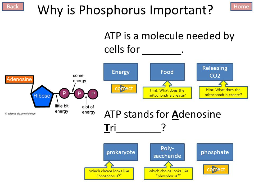 Why is Phosphorus Important. ATP is a molecule needed by cells for _______.