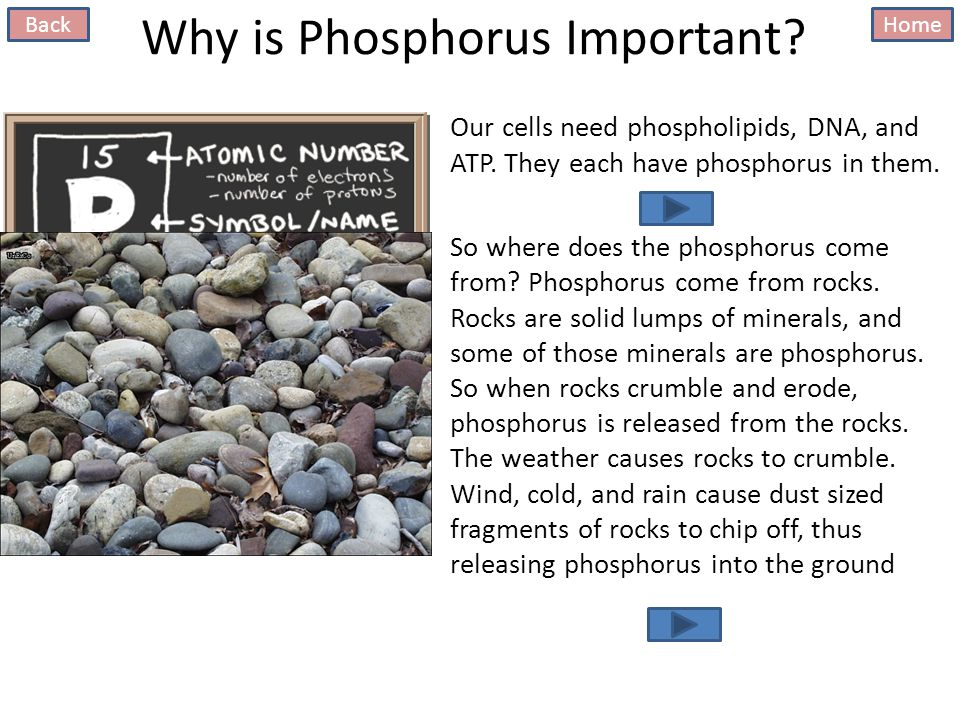 Why is Phosphorus Important. Our cells need phospholipids, DNA, and ATP.