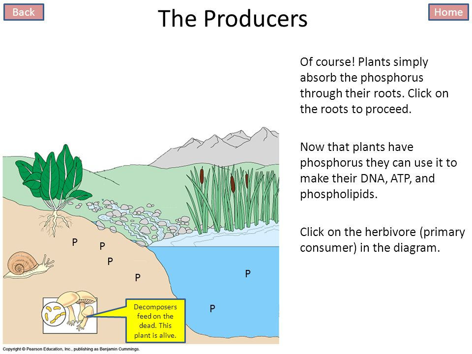 The Producers Of course. Plants simply absorb the phosphorus through their roots.