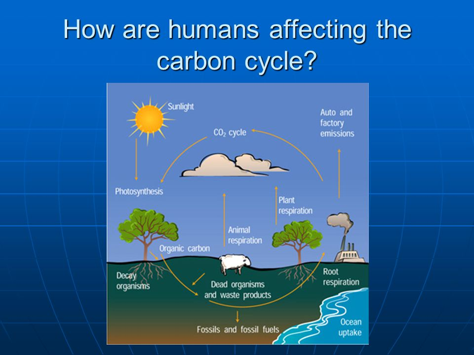 How are humans affecting the carbon cycle