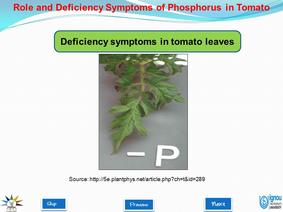 Deficiency symptoms in tomato leaves Source: http://5e.plantphys.net/article.php ch=t&id=289 Role and Deficiency Symptoms of Phosphorus in Tomato