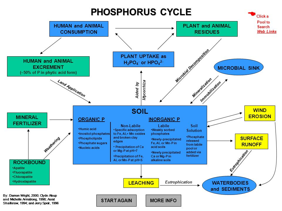 PHOSPHORUS CYCLE MICROBIAL SINK Mineralization Immobilization Weathering Eutrophication WATERBODIES and SEDIMENTS Aided by Mycorrhiza Microbial Decomp