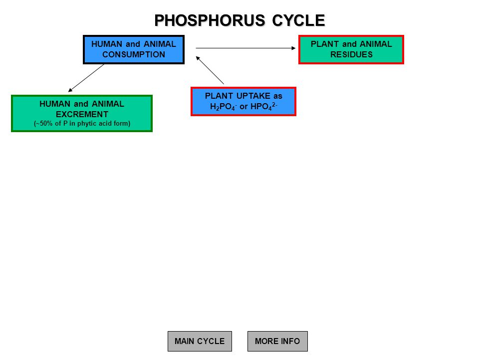 PHOSPHORUS CYCLE HUMAN and ANIMAL EXCREMENT (~50% of P in phytic acid form) PLANT UPTAKE as H 2 PO 4 - or HPO 4 2- HUMAN and ANIMAL CONSUMPTION PLANT