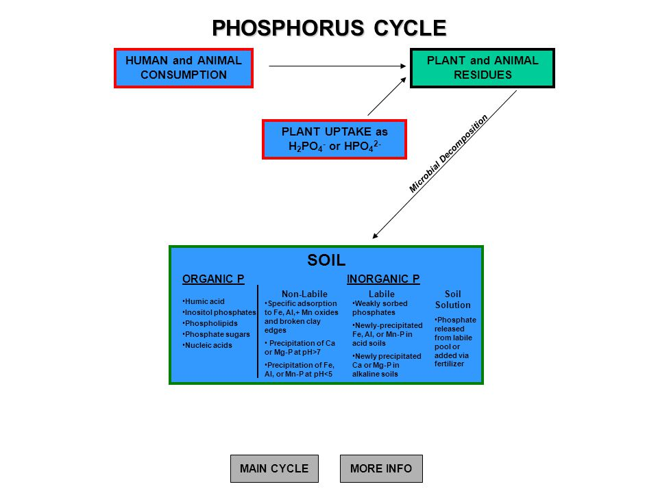 PHOSPHORUS CYCLE Microbial Decomposition PLANT UPTAKE as H 2 PO 4 - or HPO 4 2- PLANT and ANIMAL RESIDUES HUMAN and ANIMAL CONSUMPTION MAIN CYCLEMORE