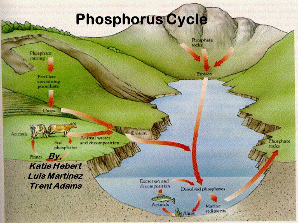 Phosphorus Cycle By, Katie Hebert Luis Martinez Trent Adams