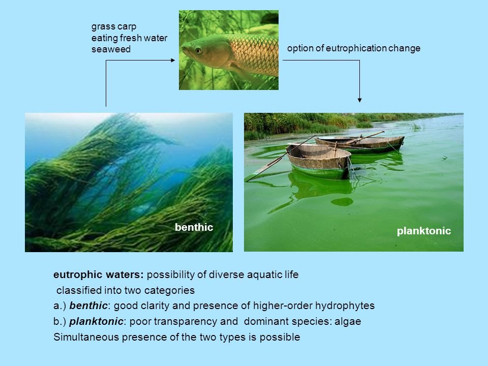 eutrophic waters: possibility of diverse aquatic life classified into two categories a.) benthic: good clarity and presence of higher-order hydrophytes b.) planktonic: poor transparency and dominant species: algae Simultaneous presence of the two types is possible benthic planktonic grass carp eating fresh water seaweed option of eutrophication change