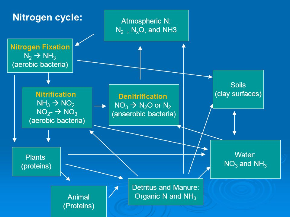 Nitrogen cycle: Animal (Proteins) Plants (proteins) Water: NO 3 and NH 3 Soils (clay surfaces) Detritus and Manure: Organic N and NH 3 Atmospheric N: N 2, N x O, and NH3 Nitrogen Fixation N 2  NH 3 (aerobic bacteria) Nitrification NH 3  NO 2 NO 2 -  NO 3 (aerobic bacteria) Denitrification NO 3  N 2 O or N 2 (anaerobic bacteria)