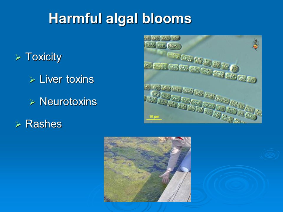 Harmful algal blooms  Toxicity  Liver toxins  Neurotoxins  Rashes