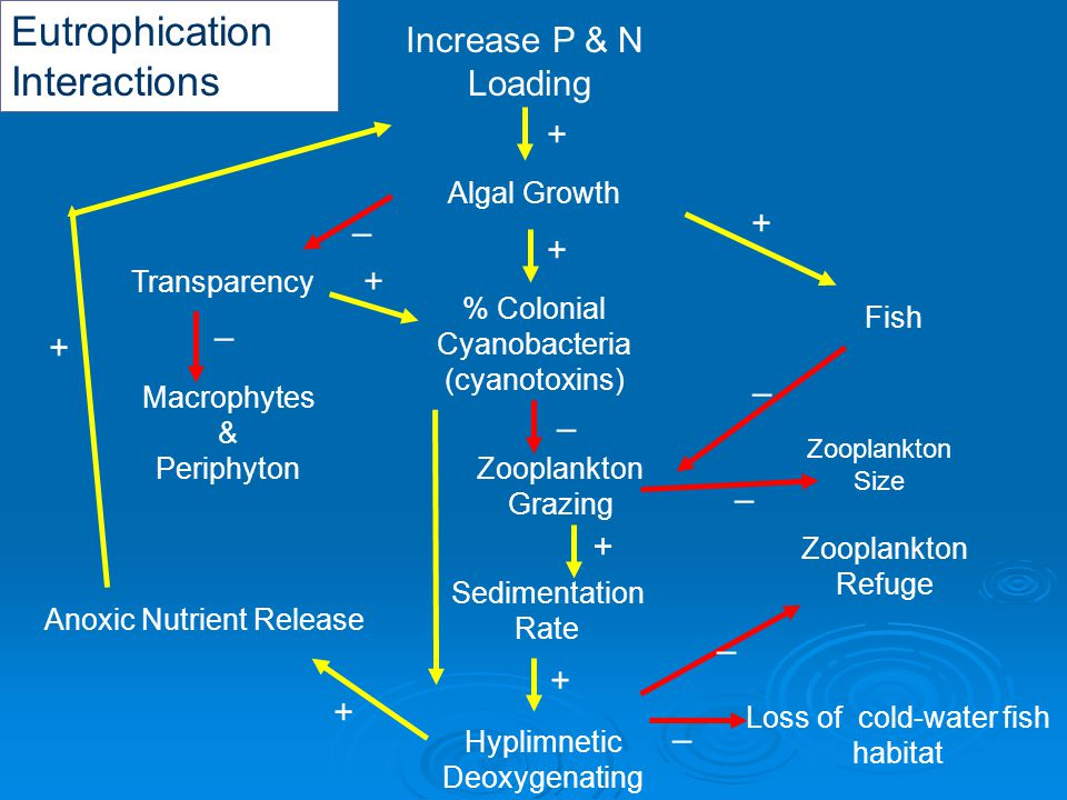 Eutrophication Interactions Increase P & N Loading Algal Growth Hyplimnetic Deoxygenating – Zooplankton Refuge Loss of cold-water fish habitat – – Zooplankton Size – % Colonial Cyanobacteria (cyanotoxins) + Anoxic Nutrient Release + + Fish + Zooplankton Grazing – + – + Sedimentation Rate + Macrophytes & Periphyton – Transparency – +