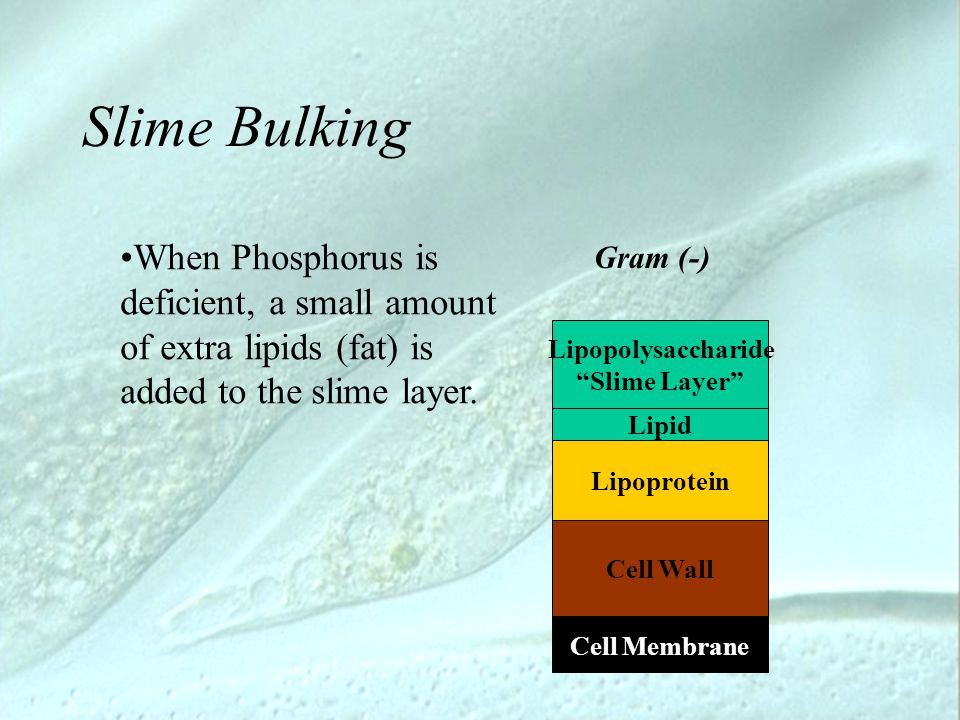 "Slime Bulking Lipopolysaccharide ""Slime Layer"" Cell Membrane Gram (-) Cell Wall Lipoprotein Lipid When Phosphorus is deficient, a small amount of extr"