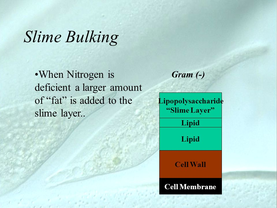 "Slime Bulking Lipopolysaccharide ""Slime Layer"" Cell Membrane Gram (-) Cell Wall Lipid When Nitrogen is deficient a larger amount of ""fat"" is added to"