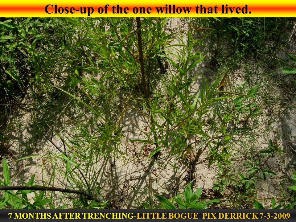 Close-up of the one willow that lived. 7 MONTHS AFTER TRENCHING-LITTLE BOGUE PIX DERRICK 7-3-2009
