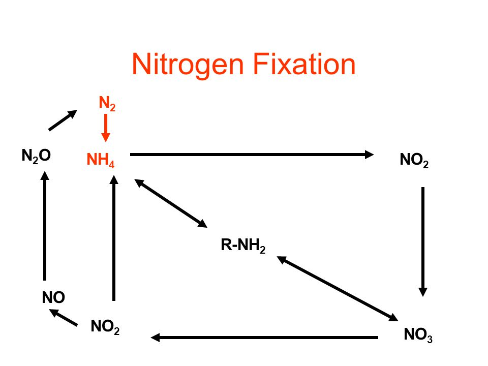 Immobilization The opposite of mineralization Happens when nitrogen is limiting in the environment Nitrogen limitation is governed by C/N ratio C/N ty