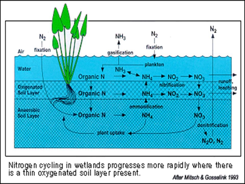 Looking at the Nitrogen cycle through the eye of NH 4
