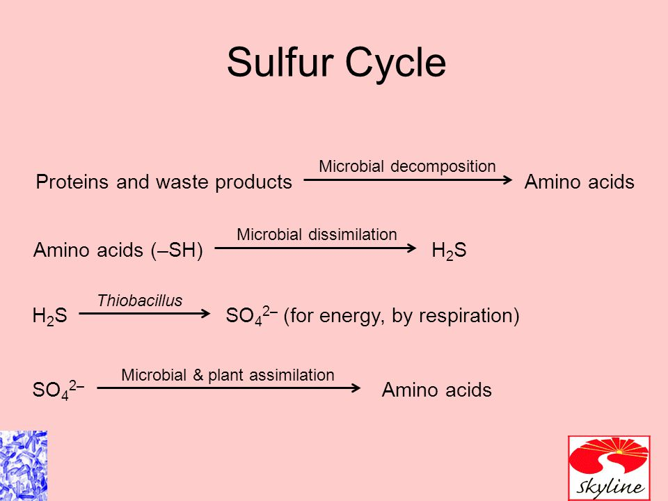 Sulfur Cycle Proteins and waste productsAmino acids Microbial decomposition Amino acids (–SH) Microbial dissimilation H2SH2S H2SH2S Thiobacillus SO 4