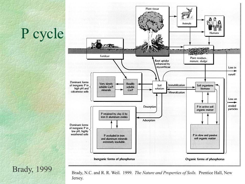 P cycle Brady, 1999