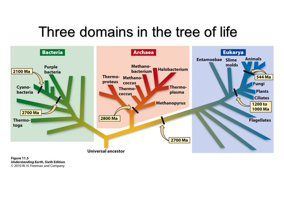Three domains in the tree of life