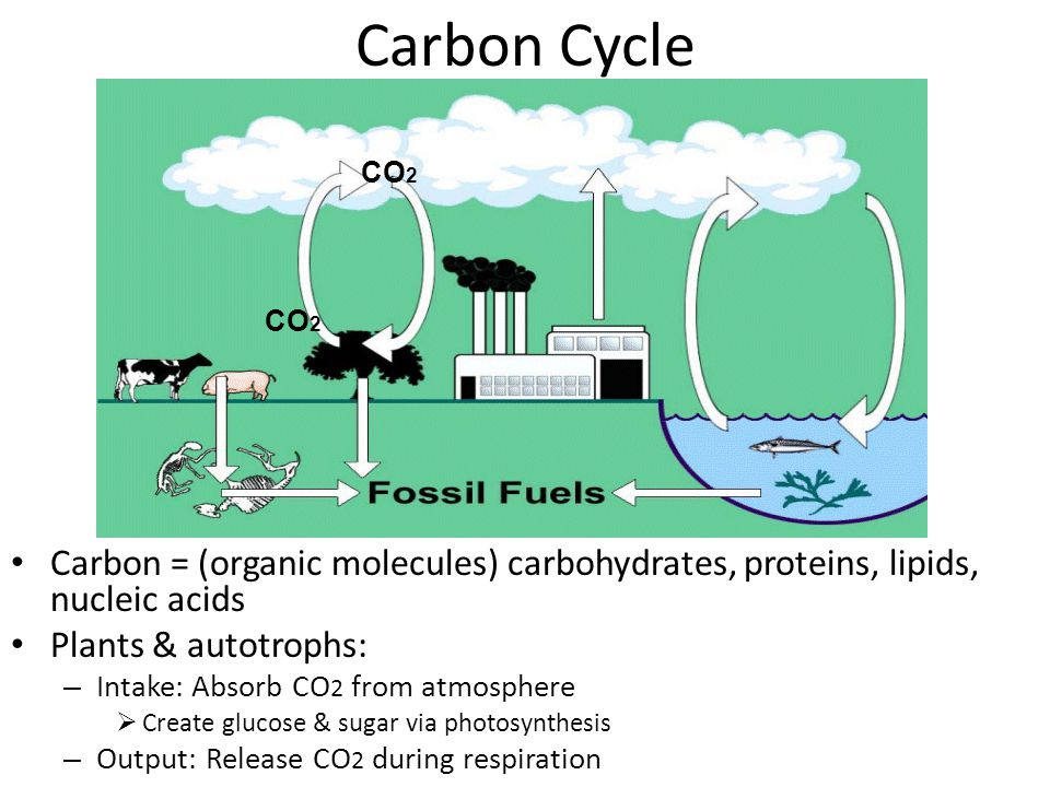 Oxygen Cycle Autotrophs: Release O 2 into atmosphere via photosynthesis All life: Absorbs O 2 to be used during cellular respiration –R–Respiration: creates ATP energy for cells O2O2 O2O2