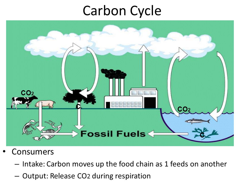 Carbon Cycle Carbon = (organic molecules) carbohydrates, proteins, lipids, nucleic acids Plants & autotrophs: – Intake: Absorb CO 2 from atmosphere  Create glucose & sugar via photosynthesis – Output: Release CO 2 during respiration CO 2