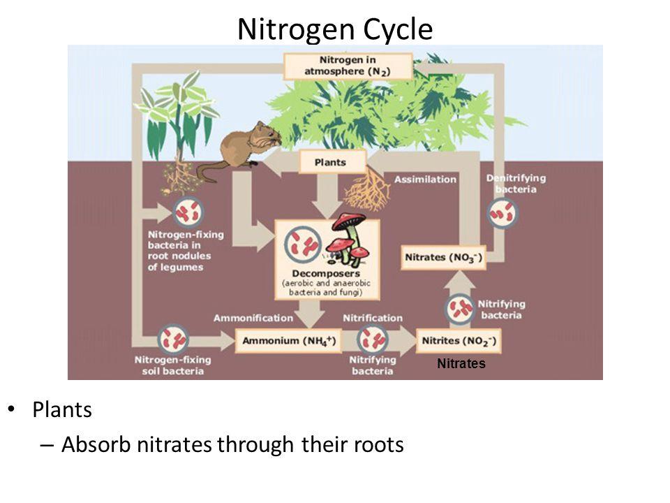 Nitrogen Cycle N = 78% atmosphere (most unusable) Soil Bacteria –N–Nitrogen fixation: convert atmospheric nitrogen into ammonia –N–Nitrification: ammo