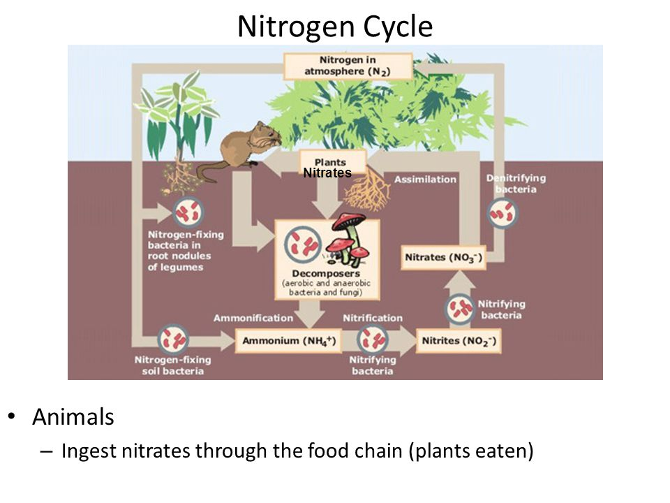 Nitrogen Cycle Plants – Absorb nitrates through their roots Nitrates