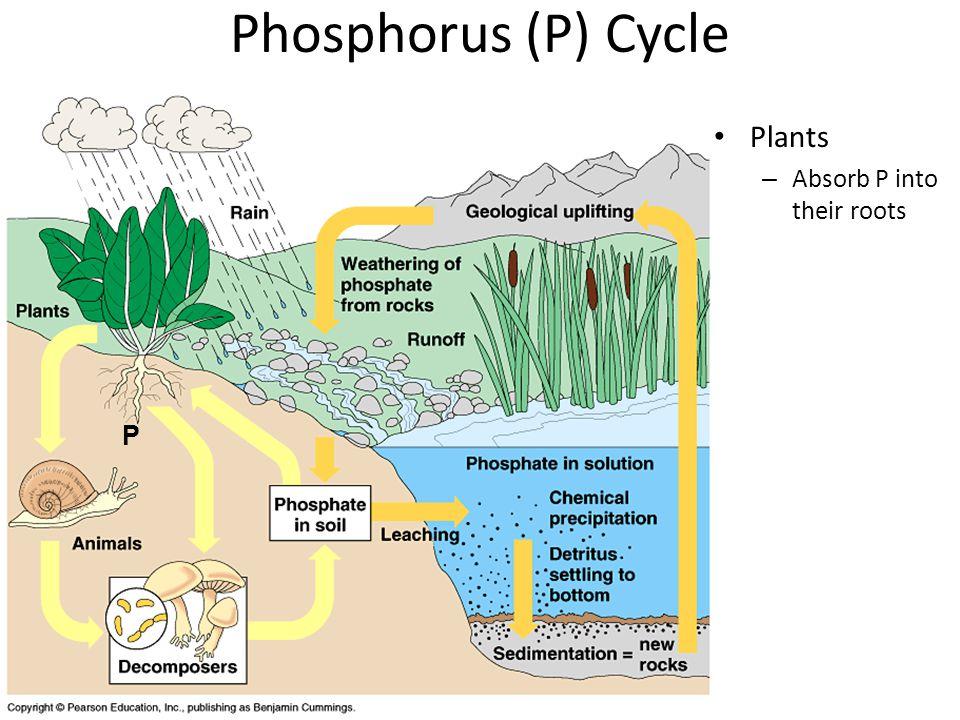 Phosphorus (P) Cycle No phosphorus in atmosphere Rocks –P–Phosphorus released by weathering of rocks P P