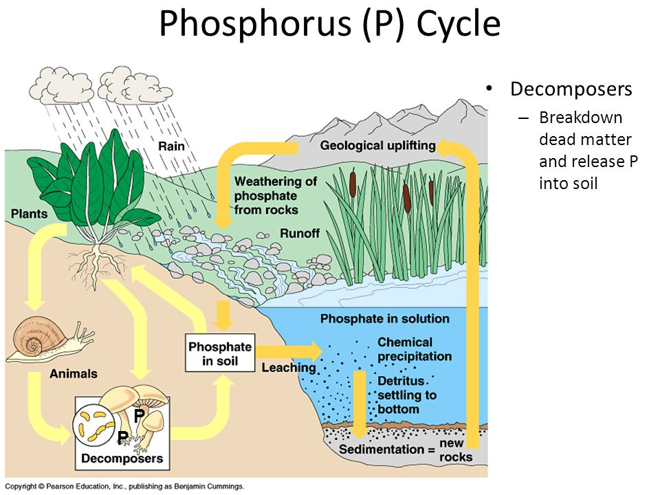 Animals – Ingest P when plants eaten – P continues to move up food chain P