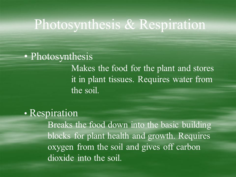 Photosynthesis & Respiration Photosynthesis Makes the food for the plant and stores it in plant tissues.