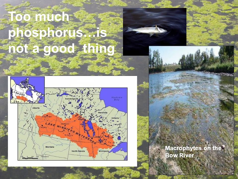 Too much phosphorus…is not a good thing Macrophytes on the Bow River