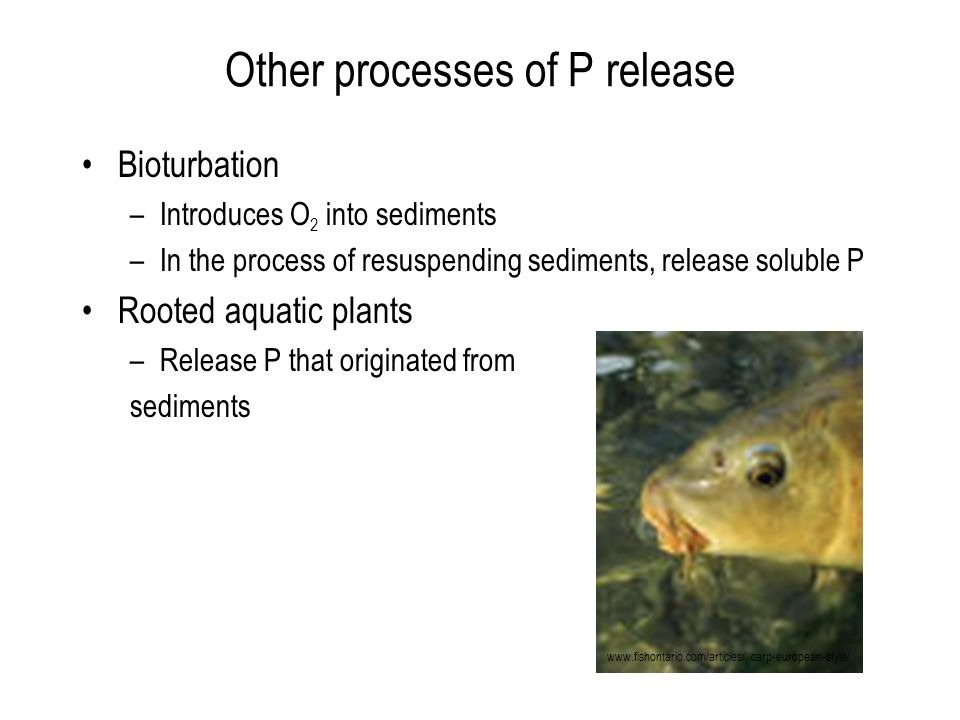 Other processes of P release Bioturbation –Introduces O 2 into sediments –In the process of resuspending sediments, release soluble P Rooted aquatic plants –Release P that originated from sediments www.fishontario.com/articles/ carp-european-style/