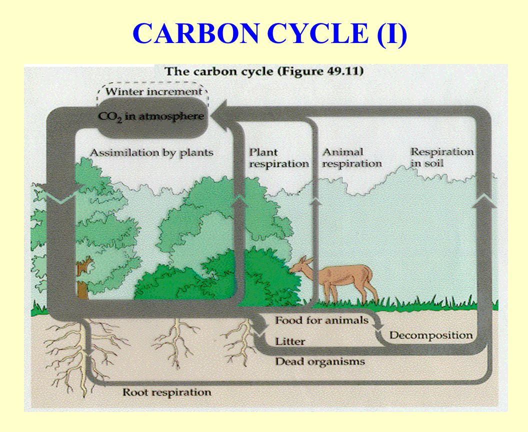 CARBON CYCLE (I)
