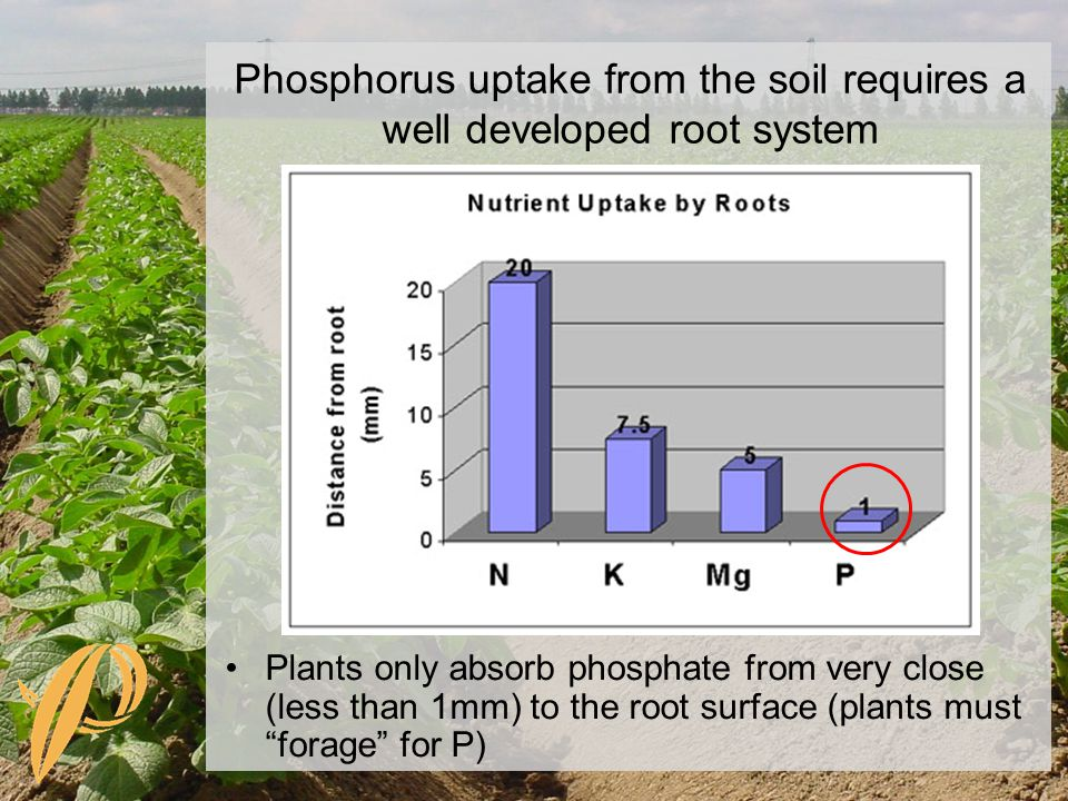 Phosphorus uptake from the soil requires a well developed root system Plants only absorb phosphate from very close (less than 1mm) to the root surface (plants must forage for P)