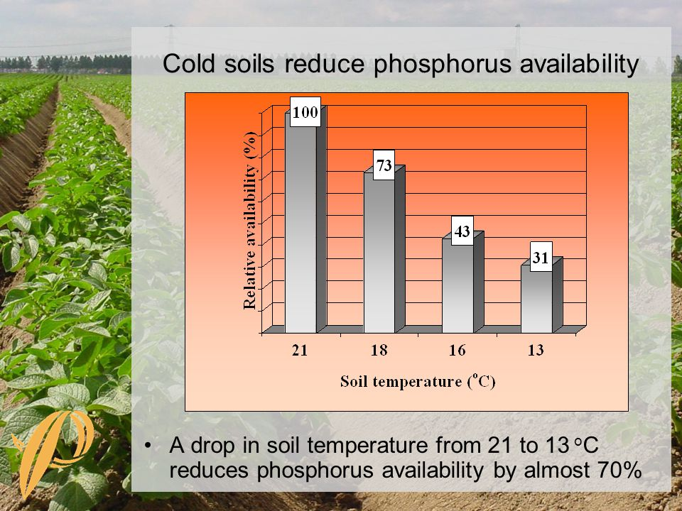 A drop in soil temperature from 21 to 13 o C reduces phosphorus availability by almost 70% Cold soils reduce phosphorus availability