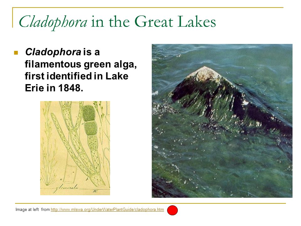 Cladophora in the Great Lakes Cladophora is a filamentous green alga, first identified in Lake Erie in 1848.