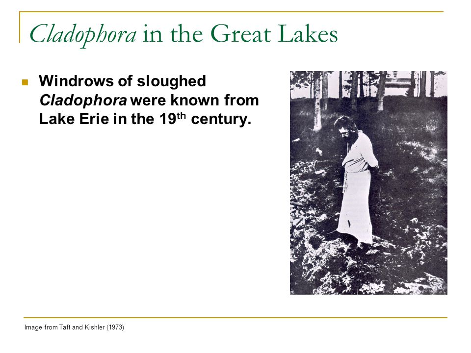 Cladophora in the Great Lakes Image from Taft and Kishler (1973) Windrows of sloughed Cladophora were known from Lake Erie in the 19 th century.