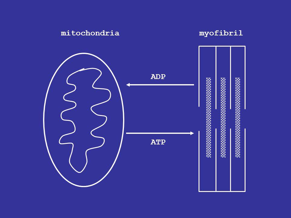 mitochondriamyofibril ADP ATP