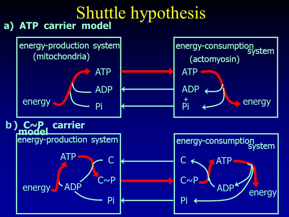 a) ATP carrier model energy-consumption system (actomyosin) energy-production system (mitochondria) energy ATP ADP Pi energy ATP ADP Pi + b ) C~P carrier model Shuttle hypothesis energy-consumption system energy-production system energy ATP ADP Pi C C~P energy ATP ADP C C~P Pi